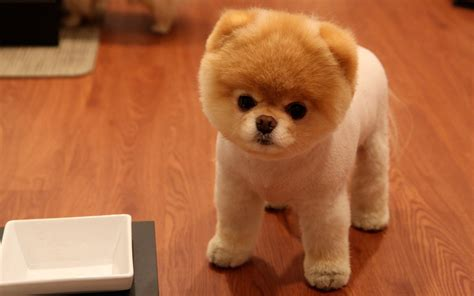 pictures of baby pomeranians baby pomeranian best images collections hd for gadget windows mac android