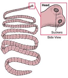 labelled diagram of tapeworm tapeworm conservapedia