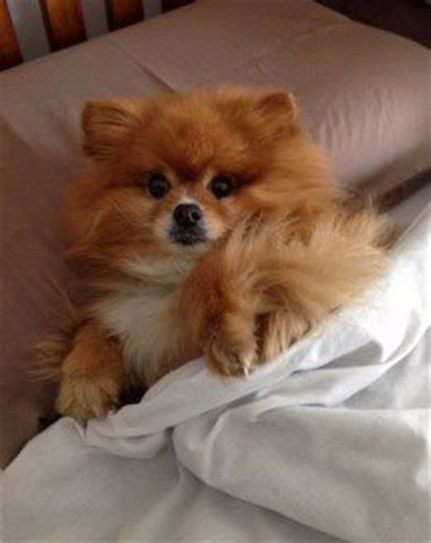how much is pomeranian 1000 images about puppy on puppys puppy care and trains