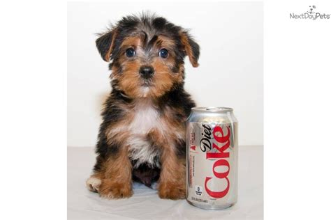 mini yorkie poo mini yorkie poo www imgkid the image kid has it