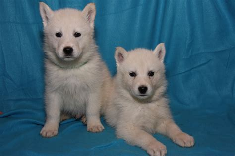 samoyed husky puppies samoyed husky puppies for sale bishop auckland county durham pets4homes