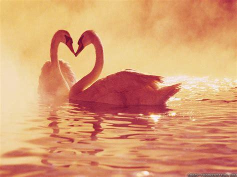 background wallpaper in love swans in love wallpapers weneedfun