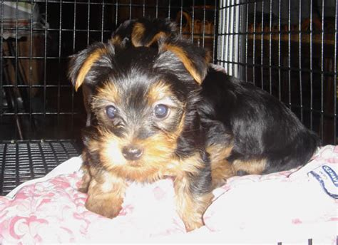 free puppies louisville ky pets louisville ky free classified ads