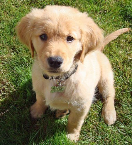 golden retriever baby are you a golden retriever person find out if the golden retriever breed is right