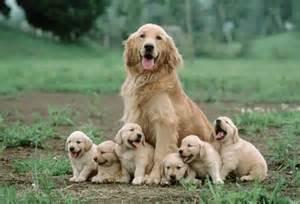 goldene le ra 231 as de cachorros que fazem tudo para agradar seus