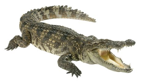 krokodil images crocodile is said to replace your coconut obsession