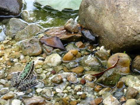 How To Find Frogs In Your Backyard by Frog In The Pond Gardening In Backyard