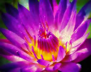 Lotus Purple Purple Sparkle Lotus Flower Photograph By Alma Yamazaki