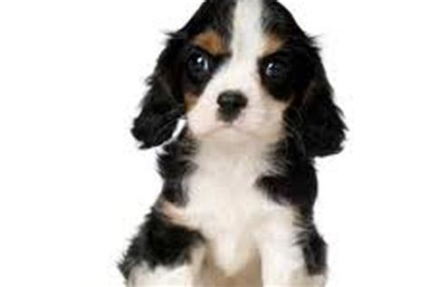 puppies for sale in westchester ny large breeds for sale in westchester westchester puppies breeds picture