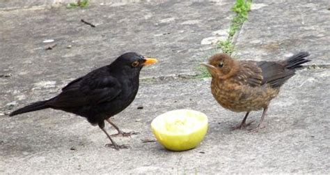 more blackbirds have discovered the dog food miranda hodgson