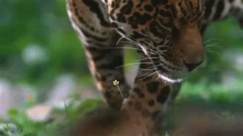 format gif download leopard gif find share on giphy
