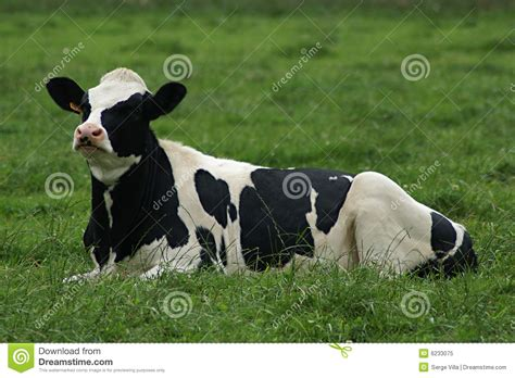 Black And White Cow Royalty Free Stock Photo Image: 6233075