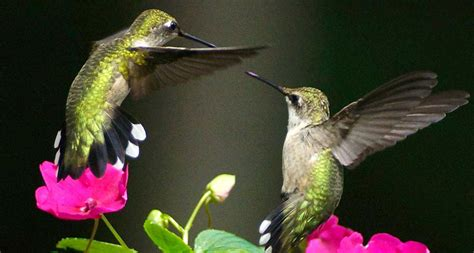 tiny hummingbirds can fly a long long way science news