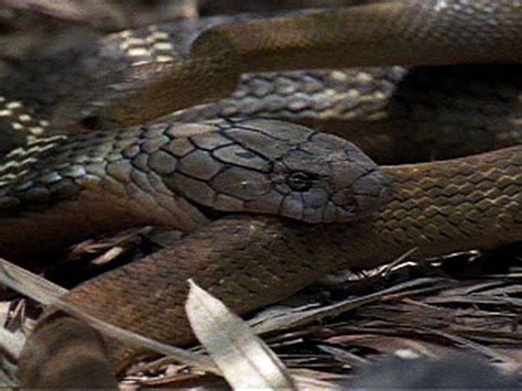 Ox Natgeo Wildd cobra vs rat snake