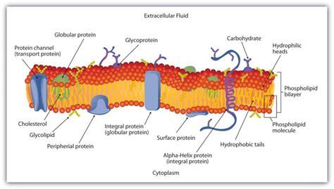 plasma membrane diagram plasma membrane diagrams diagram site