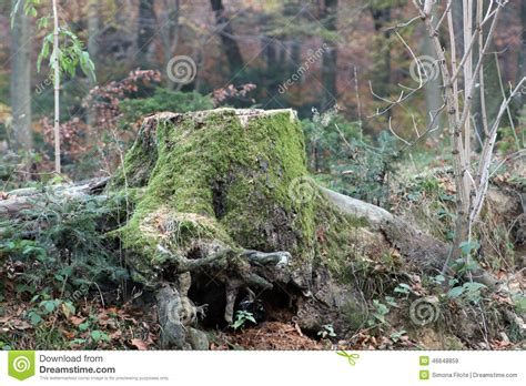 what is a tree trunk covered with 4 letters tree stump covered by moss stock photo image 46648859