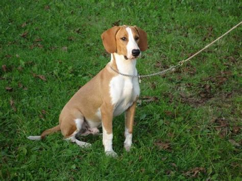 hound dogs breeds posavac hound breed standards