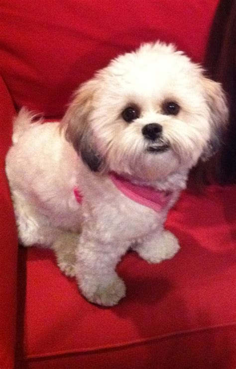 puppy shichon haircuts 1000 images about shichon on pinterest haircuts sweet