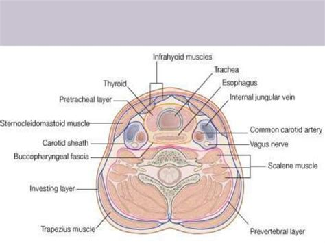 cross section of neck gallery cross section of neck diagram human anatomy