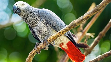 wallpaper grey birds african grey parrot full hd wallpaper and background