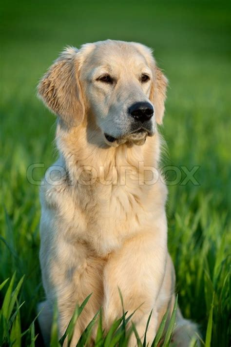 golden retriever portrait portrait of a beautiful golden retriever stock photo colourbox