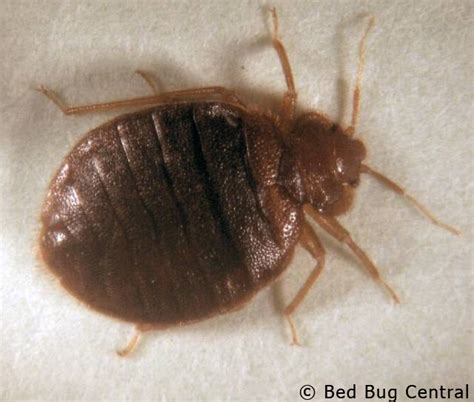 what do bed bugs look like 53 pictures of bed bugs pest strategies
