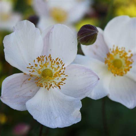 Garten Selber Gestalten 3026 by Herbst Anemone Honorine Jobert Kaufen