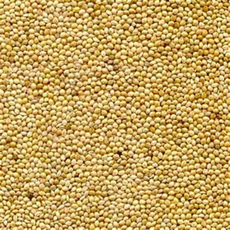 white millet seed www pixshark com images galleries
