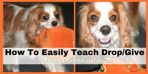 how to teach a puppy to fetch teaching a to drop it give it or return an item fetch and retrieve