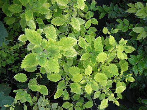 Pianta Dalle Foglie Vellutate E Odorose piante tropicali aromatiche e da spezia tedradenia riparia