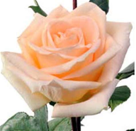 wallpaper bunga peach macam macam mawar beserta maknanya