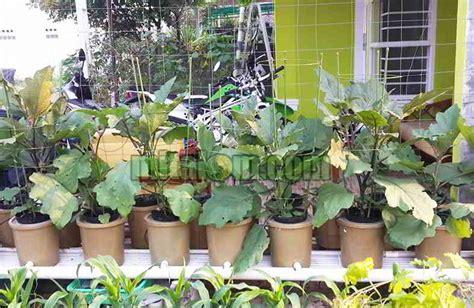 menanam hidroponik tanpa nutrisi 8 tahap mudah panduan cara menanam terung hidroponik agar