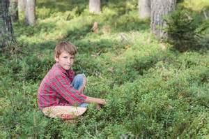 heidelbeeren im garten waldheidelbeeren pflanzen 187 das sollten sie beachten