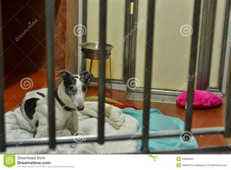 Adoptable Kitten Speed Racer Flickr by Greyhound Dogs Stock Photography Cartoondealer 81138068
