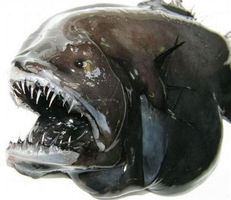 anglerfish worlds  hideous fish animal pictures