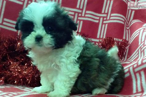 shih tzu puppies for sale in baltimore md shih tzu puppy for sale near baltimore maryland 5eb08a30 a141
