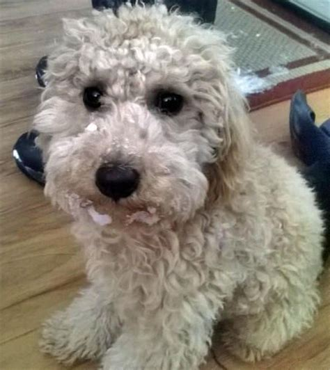 17 Best Images About I My Poochon S On Poodles