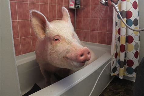pig in bathtub esther the wonder pig changing the world one heart at a