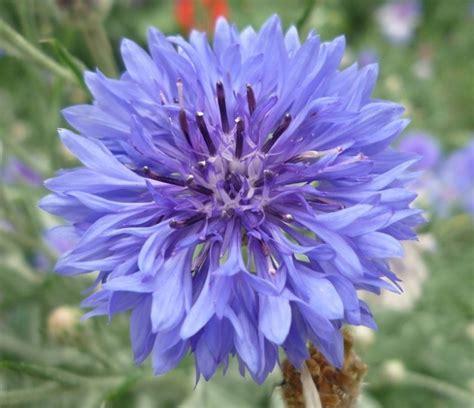 fiore selvatico mirtillo selvatico gard fiore fiordaliso scaricare foto