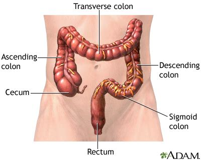colon sections digestive system information