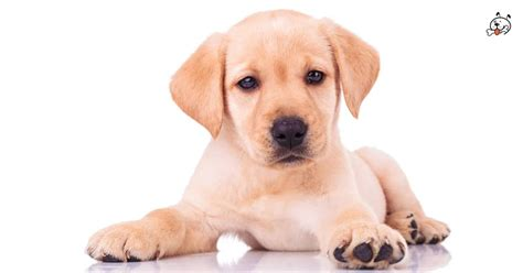 golden retriever puppies for sale in la golden retrievers golden retrievers for sale golden retriever breeds picture