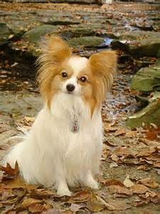 with white hair big ears rileypapillon jpg