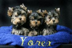 yorkie puppies care guide 1000 images about yorkie baby on yorkie terrier and yorkies