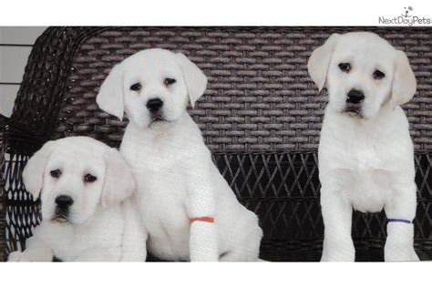 lab puppies for sale ohio quelques liens utiles