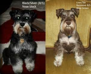 schnauzer colors different colors of miniature schnauzers pictures to pin