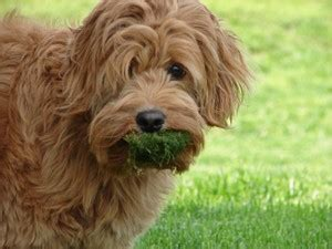 grass and throwing up invisible leash disney important facts about dogs vomiting and diarrhea
