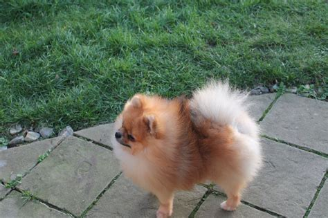 pomeranian boo puppies for sale pomeranian boo cambridge cambridgeshire pets4homes