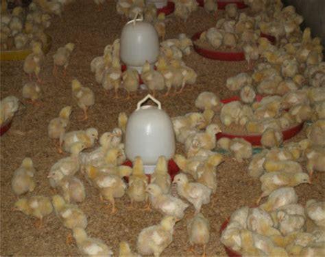 Tangguh Probiotik Untuk Ayam Broiler ayam organik teknologi mbio unsil tasikmalaya budidaya