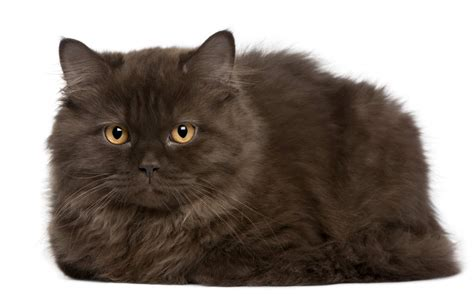 British Longhair   Cats   Breed Information   Omlet