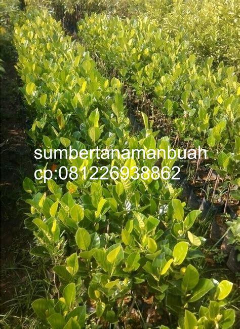 Grosir Tanaman Nangka Madu 1 jual bibit tanaman buah unggul jual bibit nangka madu nangka merah nangka mini